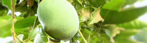Mango season is on its way coming
